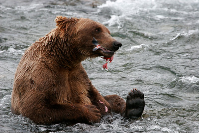 Sushi in a river: A young bear sits down in the river to enjoy the benefit of his fishing expertise.  Many brown bears (Grizzly) are not that adept at fishing, but this one could easily catch his fill in the fast-moving water.