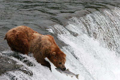 Spawning Salmon, Brooks Falls, AK.  Fish where the fish are: this grizzly has hierarchal privileges and fishes right at the top of a waterfall salmon use to spawn