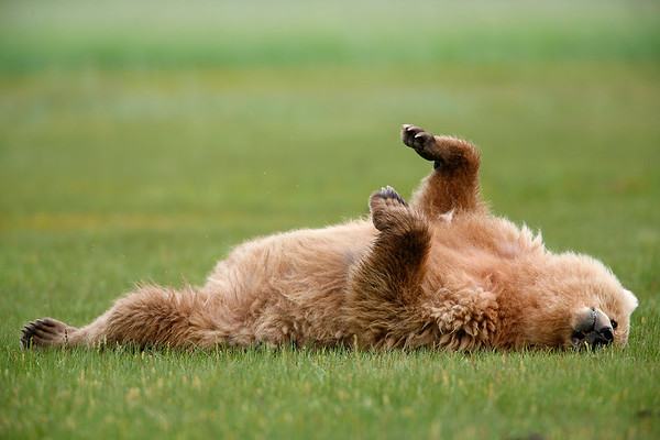 Animal Antics: a young female grizzly stretches out within about 15 yards of where i was crouched in the grass.  The bear fully knew i was watching and admiring.