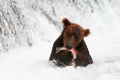 Fish where the fish are: this grizzly has hierarchal privileges and fishes right at the base of a waterfall salmon use to spawn
