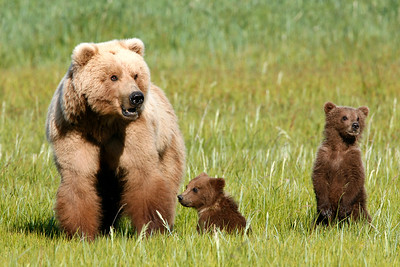 Grizzly and Cubs, Katmai National Park, Alaska: this sow grizzly walked her cubs over and laid down in a puddle to cool off within 10 feet of me, right after this shot was taken.  it's not uncommon for me to be approached by sows with cubs in this way when i am out in that area - they have become accustomed to using the rare human visitors as 'shields' to keep boars (males) from preying on their cubs.  this bear was shot at a very close distance (285mm) with little time for a tripod.   We normally would be maintaining a substantially greater distance but feel relatively comfortable with bears which approach us.  The guide knew this bear's behavior very well, and our party of 3 watched her in several other instances during our trip there.  we visited there based on a boat, and did day trips into hallo bay each day by a landing craft