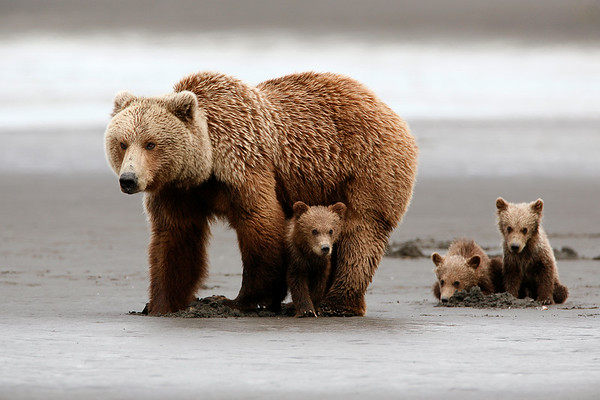 Sow grizzly clams to feed her triplet cubs-of-the-year, Katmai, AK