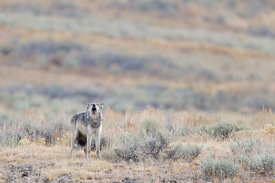 Wolf 776, Lamar Canyon, Yellowstone NP