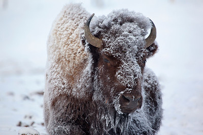 Yellowstone's grueling winter temperatures of minus 10F are sustained by this bison, photographed at dawn.