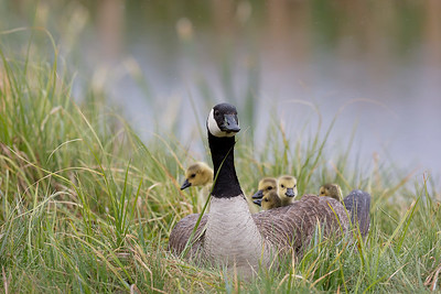 water rolled off the back of this mother goose as she sheltered most of her brood from the pounding rain and snow