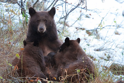 A young black bear nurses its two cubs during an October snowfall.