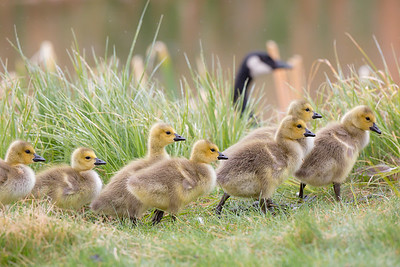Canada Goslings and parent walk along the Flat Creek area in the rain