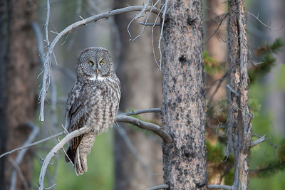 A great gray owl at sunrise - waiting for a little movement in the field adjacent to this stand of lodgepole pine.