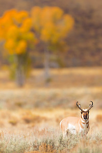 A pronghorn uses his sharp vision to assess my presence