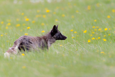 A black-colored red fox surveys his kits near Jackson Hole, Wyoming, May 2012.  Red foxes can mate with naturally occurring black colored red foxes (same species) and there are several color combinations resulting.