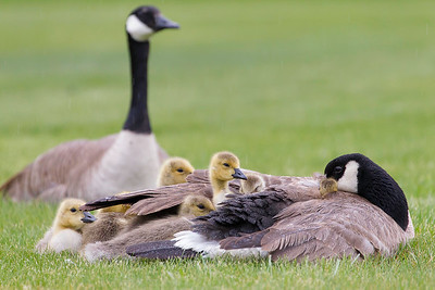 11 new goslings huddled under mom's wind during a driving rainstorm, near Flat Creek, Jackson, Wyoming