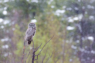 a winter storm greeted this great grey owl on memorial day weekend, 2012.