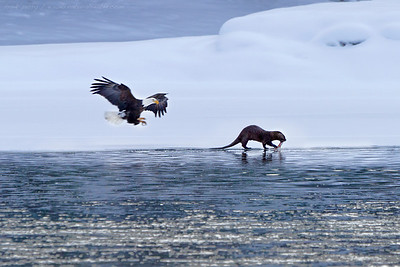 A river otter takes its catch onshore, unaware of the eagle's fast but silent approach and intent to steal his dinner.