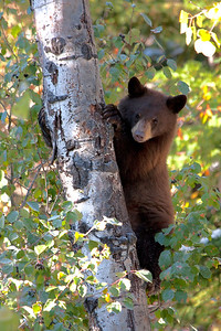 A young black bear cub is enjoying his first season of foraging on hawthorne and serviceberries.