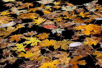 fallen leaves fill a black freshwater spring during a fall rainstorm, valley floor, Yosemite