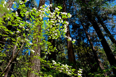Dogwood rising up: at full bloom this understory in Yosemite valley comes to life for a brief time each spring.