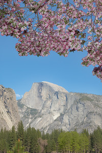 Pink dogwood blooms in the meadow where recently there was snow -and Halfdome is still capped in snow in the distance.