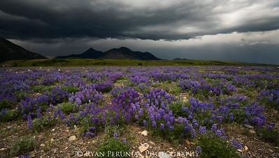 Field of Silky Lupine.