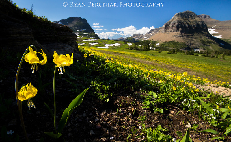 Glacier Lilies are one of the first Alpine Flowers to bloom after the snow melts in the spring.