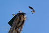Mom & Dad osprey<br /> <br /> <br /> 20090516-IMG_0867