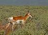 Antelope,  Cazadero Plain<br /> <br /> <br /> 20050419