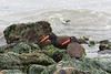 American black oystercatcher, Richmond Shoreline<br /> <br /> 20080526-CRW_0023