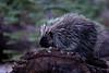 Porcupine, Devils Postpile National Monument<br /> <br /> 20081017-IMG_4898