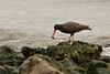 American black oystercatcher, Richmond Shoreline<br /> <br /> 20080526-CRW_0019