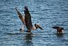 Brown Pelican, Pelecanus occidentalis<br /> <br /> 20090505-IMG_0481
