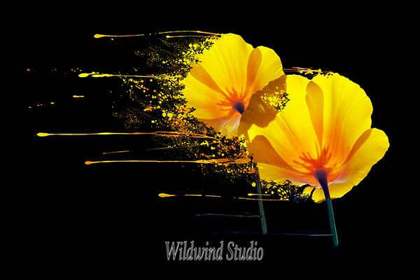 Poppies Wild
