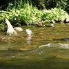 Male and Female Common Merganser