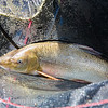A barbel rests in the base of the landing net.
