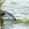 hard fighting barbel on a pole rig creates a big splash near the landing net