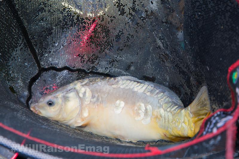 A typical Skylark Lake mirror carp nestles in the landing net. Westwood Lakes, Boston, Lincs.
