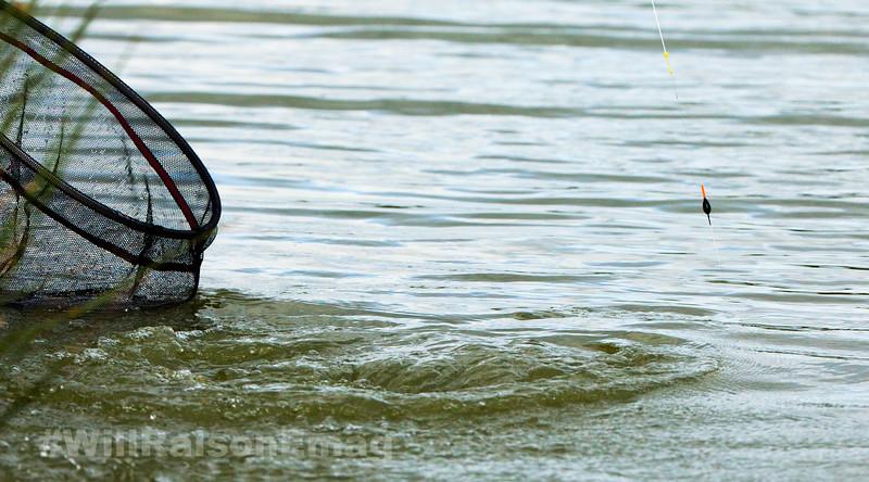 hard fighting barbel on a pole rig creates a big splash near the landing net, white hydro stretching