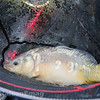 A typical Skylark Lake mirror carp nestles in the landing net. Westwood Lakes, Boston, Lincs.