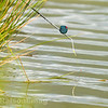Pole float beside some pond grass waiting for a bite under a silver painted top kit fitted with a tall cad pot.