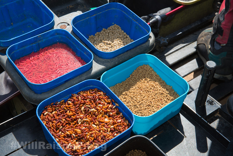 Bait tray shot - dead red maggots in water casters, expander pellets, micro pellets.