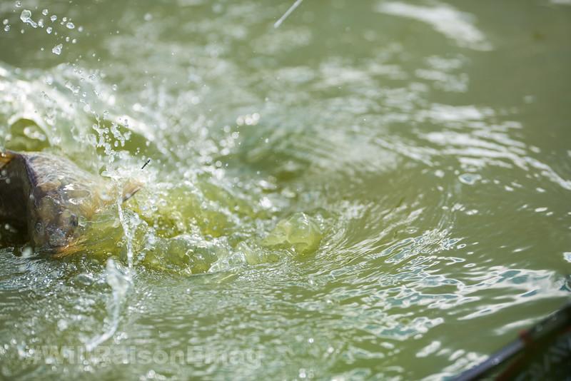 An small carp rolls splashes on the surface near the landing net