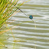 Pole float just under the water (a bite)  beside some pond grass waiting for a barbel to hook itself under a silver painted top kit fitted with a tall cad pot.