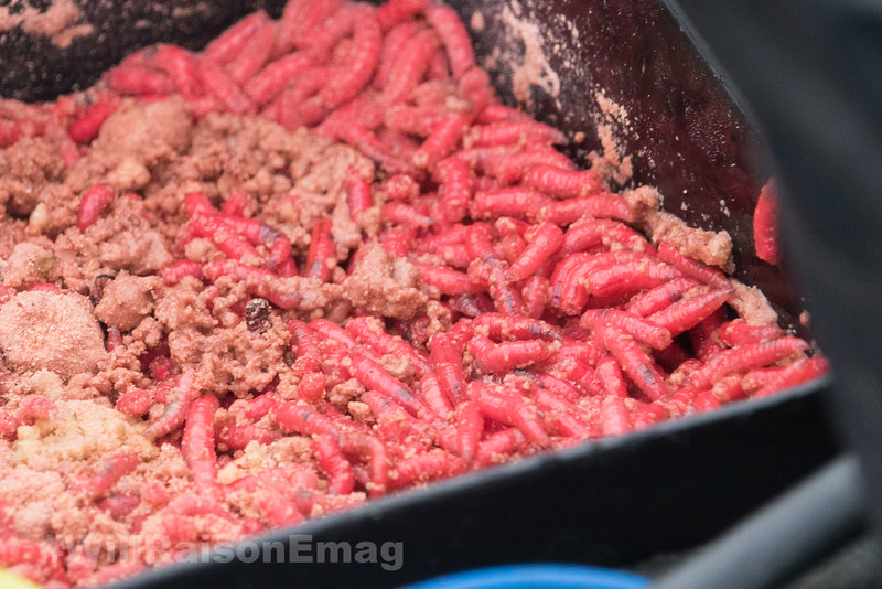 Close-up of big, live red maggots in a bait box.