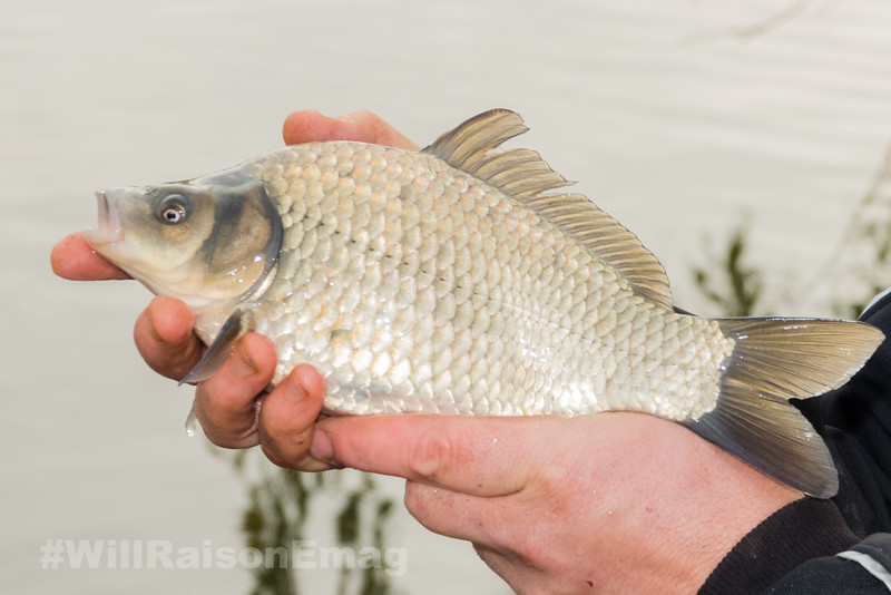 Close-up holding a typical F1 carp from Middle Lake at Gold Valley.