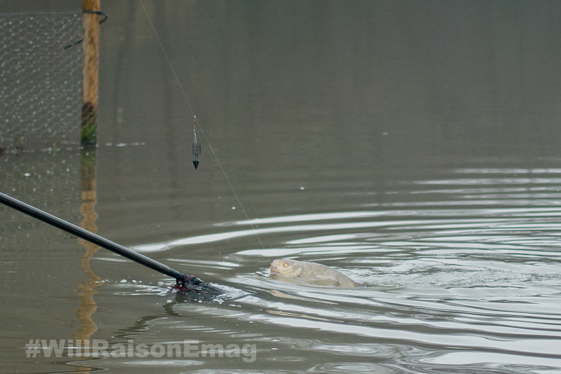 A bream attached to the rocket feeder distance rig rolls on the surface near the landing net.
