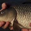 carp close-up