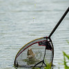 An F1 carp expels water as it is about to hit the landing net.