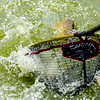 Water erupts as an F1 carp breaks surface near the net.