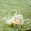 Water erupts as an F1 carp breaks surface near the net.