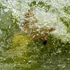 Water erupts as an F1 carp nears the net.