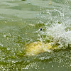 Water erupts as an F1 carp nears the net.