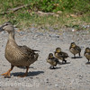 Mother Mallard and her young chicks walking cross gravel.